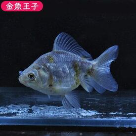 【金魚王子】変わり柄ショートテールオランダ (11.5センチ前後) 個体番号bnm153 金魚 きんぎょ 生体 オランダ 厳選個体