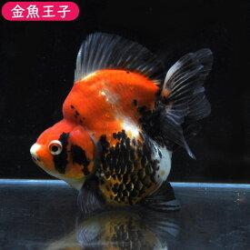 【金魚王子】三色ショートテール琉金  (14センチ前後) 個体番号:dfg103 金魚 きんぎょ 生体 琉金 厳選個体