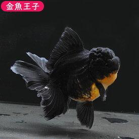 <ブラックフライデーセール品!>【金魚王子】ブラックローズテールオランダ(13センチ前後) 個体番号dfg127 金魚 きんぎょ 生体 オランダ 厳選個体