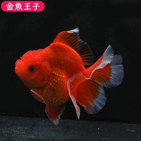 【金魚王子】レッドローズテールオランダホワイトエッジ(11センチ前後) 個体番号dfg142 金魚 きんぎょ 生体 オランダ 厳選個体