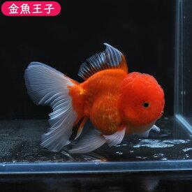 【金魚王子】変わり柄ローズテールオランダ(12.5センチ前後) 個体番号dfg146 金魚 きんぎょ 生体 オランダ 厳選個体
