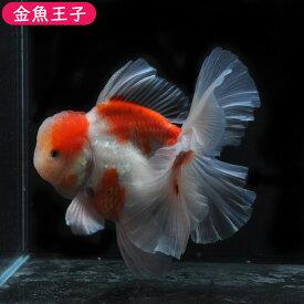 【金魚王子】桜ローズテールオランダ(13センチ前後) 個体番号dfg154 金魚 きんぎょ 生体 オランダ 厳選個体