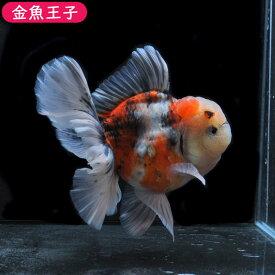 【金魚王子】三色ローズテールオランダ(13.5センチ前後) 個体番号dfg156 金魚 きんぎょ 生体 オランダ 厳選個体