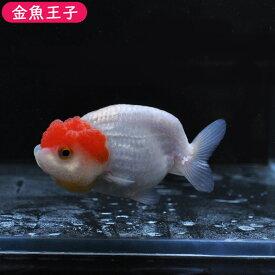 【金魚王子】更紗バッファローヘッドらんちゅう (8.5センチ前後) 個体番号:dfg184 金魚 きんぎょ 生体 らんちゅう 厳選個体