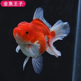 【金魚王子】レッドローズテールオランダホワイトエッジ(11センチ前後) 個体番号dfg192 金魚 きんぎょ 生体 オランダ 厳選個体