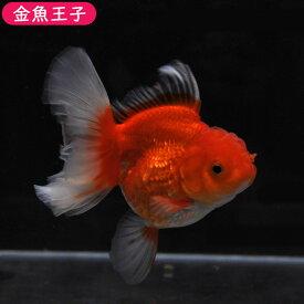 【金魚王子】更紗ローズテールオランダ(11センチ前後) 個体番号dfg215 金魚 きんぎょ 生体 オランダ 厳選個体