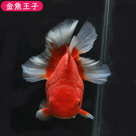 【金魚王子】更紗ローズテールオランダ(11センチ前後) 個体番号dfg223 金魚 きんぎょ 生体 オランダ 厳選個体