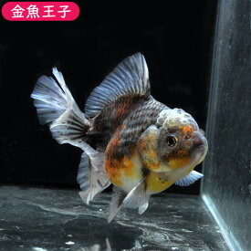 <セレクトセール!>【金魚王子】三色ローズテールオランダ(10.5センチ前後) 個体番号dfg331 金魚 きんぎょ 生体 オランダ獅子頭 厳選個体