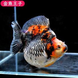 【金魚王子】三色ショートテール琉金  (15センチ前後) 個体番号:dfg371 金魚 きんぎょ 生体 琉金 厳選個体