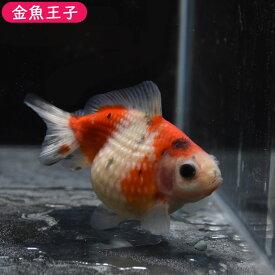 【金魚王子】キャリコピンポンパール (7センチ前後) 個体番号:bnm241 金魚 きんぎょ 生体 パールスケール 厳選個体
