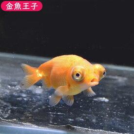 【金魚王子】レッド出目らんちゅう (8センチ前後) 個体番号:bnm322 金魚 きんぎょ 生体 らんちゅう 厳選個体