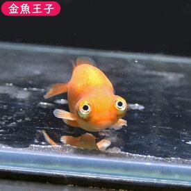 【金魚王子】レッド出目らんちゅう (8センチ前後) 個体番号:bnm324 金魚 きんぎょ 生体 らんちゅう 厳選個体