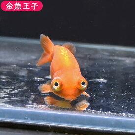 【金魚王子】レッド出目らんちゅう (7.5センチ前後) 個体番号:bnm325 金魚 きんぎょ 生体 らんちゅう 厳選個体