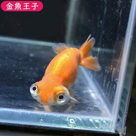 【金魚王子】更紗出目らんちゅう (8センチ前後) 個体番号:bnm326 金魚 きんぎょ 生体 らんちゅう 厳選個体