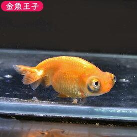 【金魚王子】レッド出目らんちゅう (8センチ前後) 個体番号:bnm329 金魚 きんぎょ 生体 らんちゅう 厳選個体