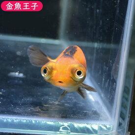 【金魚王子】虎出目らんちゅう (7センチ前後) 個体番号:bnm330 金魚 きんぎょ 生体 らんちゅう 厳選個体