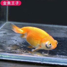 【金魚王子】更紗出目らんちゅう (8.5センチ前後) 個体番号:bnm342 金魚 きんぎょ 生体 らんちゅう 厳選個体