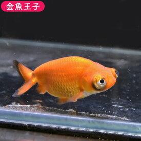 【金魚王子】レッド出目らんちゅう (8センチ前後) 個体番号:bnm344 金魚 きんぎょ 生体 らんちゅう 厳選個体
