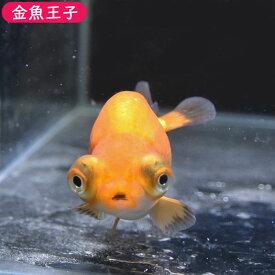 【金魚王子】レッド出目らんちゅう (8センチ前後) 個体番号:bnm346 金魚 きんぎょ 生体 らんちゅう 厳選個体