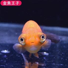 【金魚王子】レッド出目らんちゅう (8センチ前後) 個体番号:bnm347 金魚 きんぎょ 生体 らんちゅう 厳選個体