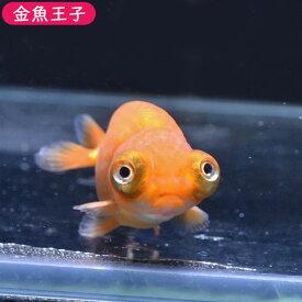 【金魚王子】レッド出目らんちゅう (7センチ前後) 個体番号:bnm349 金魚 きんぎょ 生体 らんちゅう 厳選個体