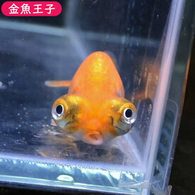 【金魚王子】更紗出目らんちゅう (8センチ前後) 個体番号:bnm350 金魚 きんぎょ 生体 らんちゅう 厳選個体