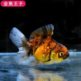 【金魚王子】三色ローズテールオランダ(9センチ前後) 個体番号bnm411 金魚 きんぎょ 生体 オランダ獅子頭 厳選個体