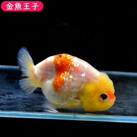 【金魚王子】桜錦 (11センチ前後) 個体番号:bnm467 金魚 きんぎょ 生体 らんちゅう 厳選個体