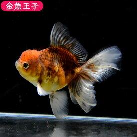 【金魚王子】三色ローズテールオランダ(12センチ前後) 個体番号bnm473 金魚 きんぎょ 生体 オランダ獅子頭 厳選個体