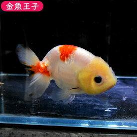 【金魚王子】桜錦 (10.5センチ前後) 個体番号:bnm495 金魚 きんぎょ 生体 らんちゅう 厳選個体