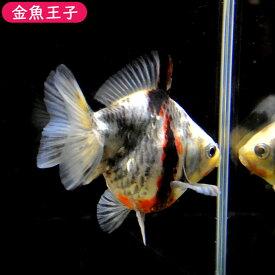 【金魚王子】ゼブラショートテール琉金(11.5センチ前後) 個体番号:bnm522 金魚 きんぎょ 生体 琉金 厳選個体