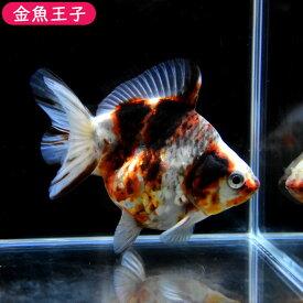 【金魚王子】ゼブラショートテール琉金(12センチ前後) 個体番号:bnm525 金魚 きんぎょ 生体 琉金 厳選個体