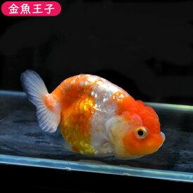 【金魚王子】桜錦 (11センチ前後) 個体番号:bnm575 金魚 きんぎょ 生体 らんちゅう 厳選個体