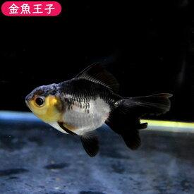 【金魚王子】白黒オランダ(6.5センチ前後) 個体番号bnm593 金魚 きんぎょ 生体 オランダ獅子頭 厳選個体