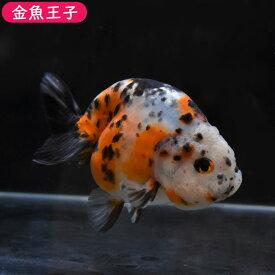 【金魚王子】江戸錦 (13.5センチ前後) 個体番号:dfg486 金魚 きんぎょ 生体 らんちゅう 厳選個体