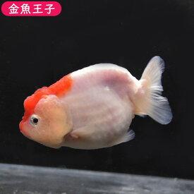 【金魚王子】桜錦 (11センチ前後) 個体番号:dfg501 金魚 きんぎょ 生体 らんちゅう 厳選個体