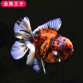 【金魚王子】赤虎ローズテールオランダ (12センチ前後) 個体番号dfg533 金魚 きんぎょ 生体 オランダ獅子頭 厳選個体
