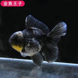 【金魚王子】変わり柄ローズテールオランダ(12.5センチ前後) 個体番号dfg553 金魚 きんぎょ 生体 オランダ獅子頭 厳選個体