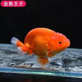 【金魚王子】レッドバッファローヘッドらんちゅう (9.5センチ前後) 個体番号:dfg566 金魚 きんぎょ 生体 らんちゅう 厳選個体