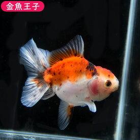 【金魚王子】三色ローズテールオランダ(8センチ前後) 個体番号dfg612 金魚 きんぎょ 生体 オランダ獅子頭 厳選個体