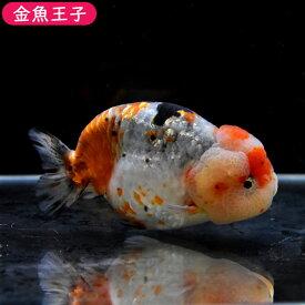 【金魚王子】メタル江戸錦 (12センチ前後) 個体番号:dfg635 金魚 きんぎょ 生体 らんちゅう 厳選個体