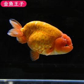 【金魚王子】レッドドラゴンスケイルらんちゅう (15センチ前後) 個体番号:dfg643 金魚 きんぎょ 生体 らんちゅう 厳選個体