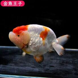 【金魚王子】更紗ドラゴンスケイルらんちゅう (12.5センチ前後) 個体番号:dfg645 金魚 きんぎょ 生体 らんちゅう 厳選個体