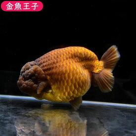 【金魚王子】メノウらんちゅう (15センチ前後) 個体番号:dfg646 金魚 きんぎょ 生体 らんちゅう 厳選個体