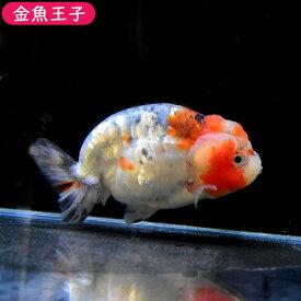 【金魚王子】メタル江戸錦 (11センチ前後) 個体番号:dfg694 金魚 きんぎょ 生体 らんちゅう 厳選個体