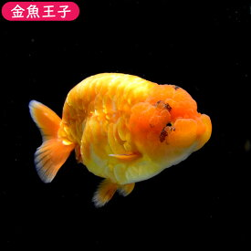 【金魚王子】レッドドラゴンスケイルらんちゅう (13センチ前後) 個体番号:dfg701 金魚 きんぎょ 生体 らんちゅう 厳選個体