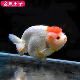 【金魚王子】丹頂らんちゅう (11センチ前後) 個体番号:dfg721 金魚 きんぎょ 生体 らんちゅう 厳選個体