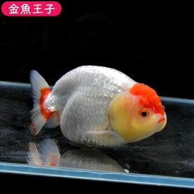 【金魚王子】丹頂らんちゅう (11センチ前後) 個体番号:dfg722 金魚 きんぎょ 生体 らんちゅう 厳選個体