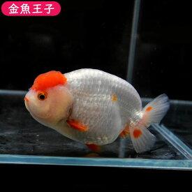 【金魚王子】丹頂らんちゅう (10.5センチ前後) 個体番号:dfg724 金魚 きんぎょ 生体 らんちゅう 厳選個体