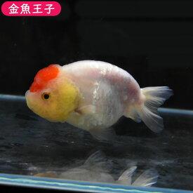 【金魚王子】丹頂らんちゅう (11センチ前後) 個体番号:dfg725 金魚 きんぎょ 生体 らんちゅう 厳選個体